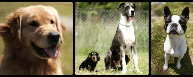 基本的なトレーニング内容は各コース共に共通です。 初歩訓練は基本7科目と、各犬に合った3科目の習得を目指します。 リード付きや無しで横について歩く(脚側行進) お散歩の時にはこうして歩きたいものです。 飼い […]